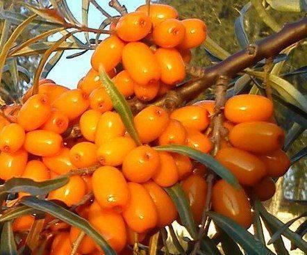 ✅ облепиха чечек: описание сорта с фото, необходимый сорт-опылитель, как сажать и ухаживать за растением - tehnoyug.com