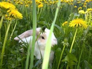 Можно ли давать кроликам одуванчики: польза или вред стеблей, листьев и цветка
