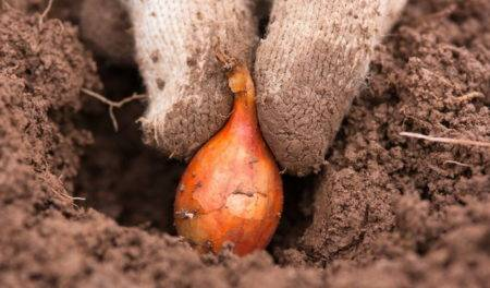 Как и когда сажать (садить) лук севок в 2021 году. выращивание и уход в открытом грунте