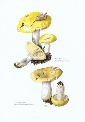 Сыроежка золотисто-желтая – гриб с запахом роз