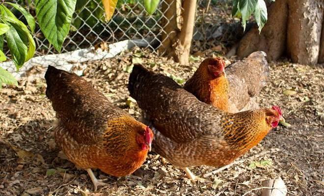 Билефельдер - мясо-яичная порода кур. описание, характеристики, особенности содержания и разведения