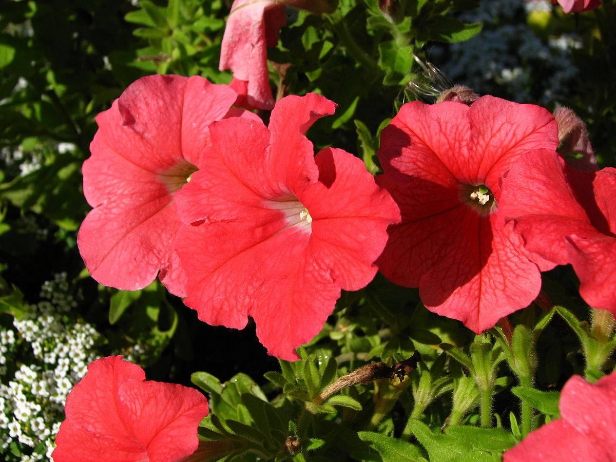 Петуния: посадка и уход, выращивание из семян, виды и сорта с фото