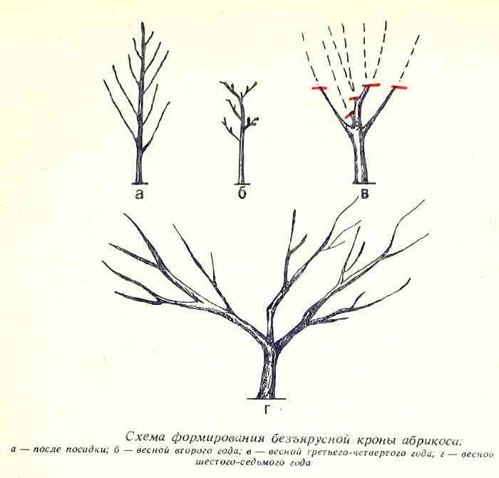 Обрезка абрикоса осенью: схема, когда и как правильно обрезается абрикосовое дерево осенью, чтобы был хороший урожай, уход после процедуры