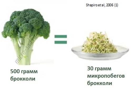 Как вырастить брокколи в домашних условиях, выращивание на балконе или подоконнике, как посадить брокколи дома