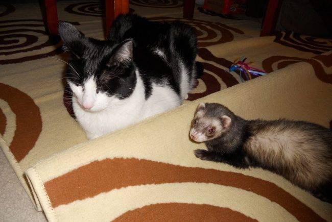 Кошка с другими животными: хорьки, рыбки и птицы. правила совместного содержания
