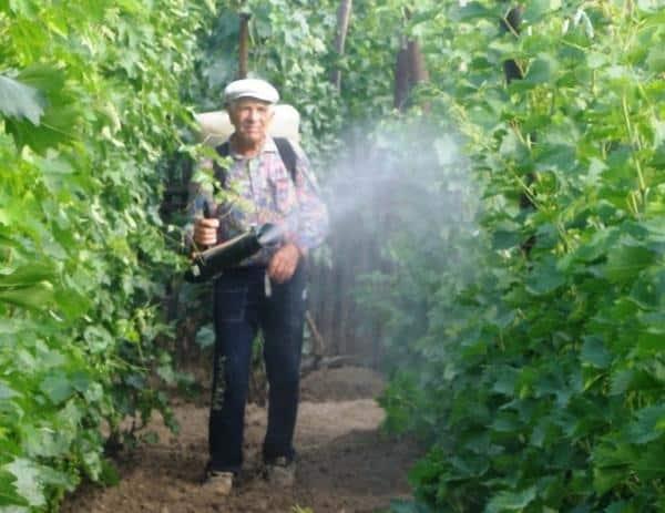 Виноград ягуар описание сорта фото отзывы видео - дачный мир | все о о даче