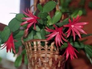 Хатиора — уход в домашних условиях, приметы, можно ли держать дома комнатный цветок?