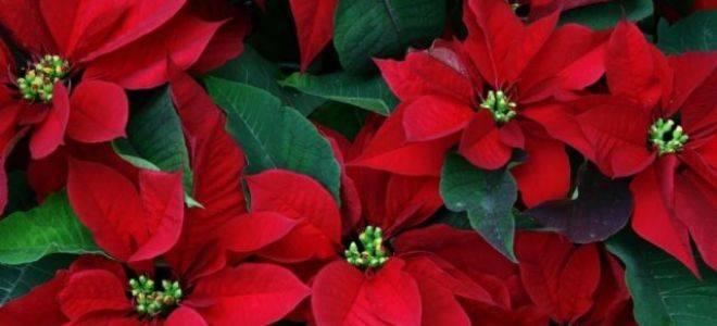 Виды пуансеттии: популярные сорта этого цветка и их характеристики, правила ухода за растением selo.guru — интернет портал о сельском хозяйстве