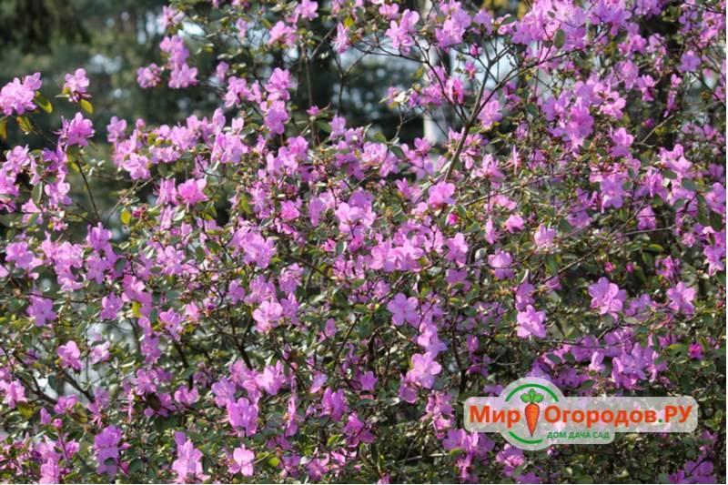 Рододендрон даурский: фото, описание, особенности ухода и посадки