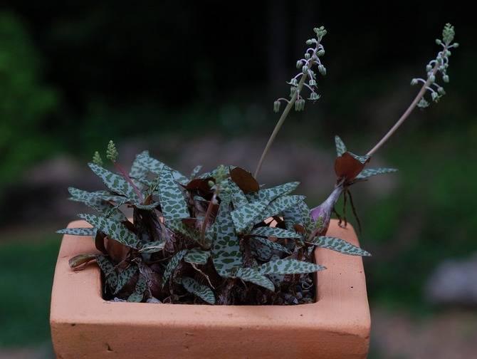 Пролеска, или сцилла (51 фото): сибирская, пролесковидная, двулистная, колокольчатая, перуанская, посадка цветка, уход