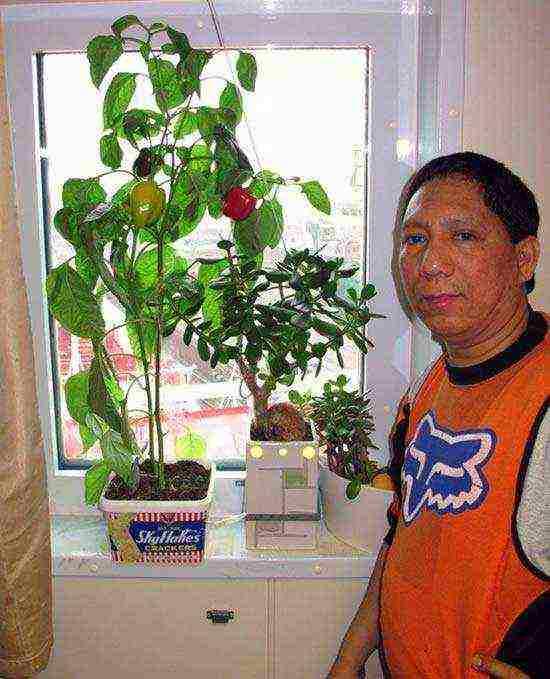 Как посадить и выращивать перец в домашних условиях на подоконнике?