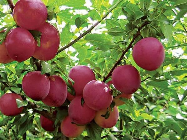 Алыча колоновидная: особенности успешного выращивания