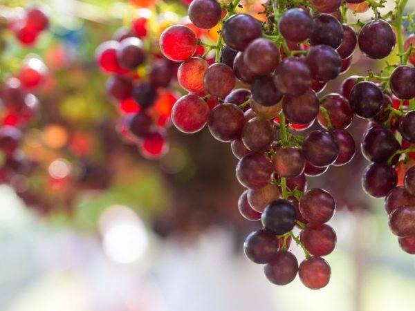 Молдавский сорт винограда шахтер отлично подходит для россии