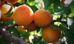 Лучшие сорта абрикоса колоновидного
