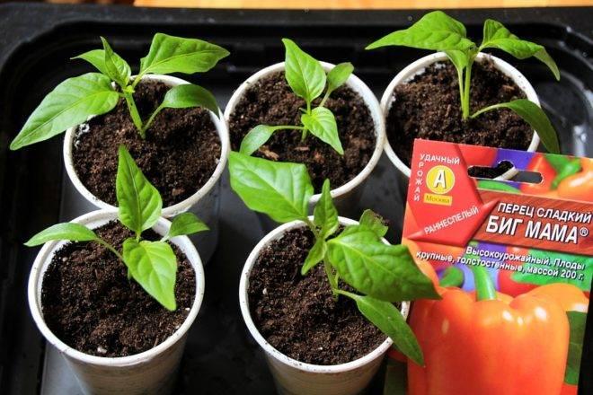 Сроки посадки перцев на рассаду в подмосковье в 2021 году: благоприятные дни - сад и огород