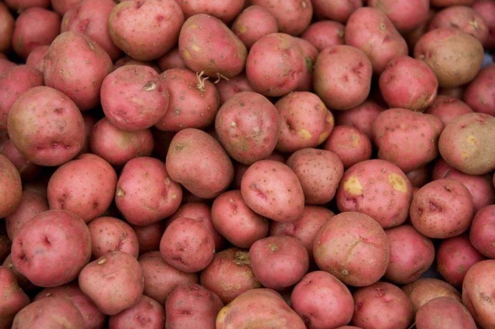 Раннеспелый, морозоустойчивый сорт картофеля «розалинд»