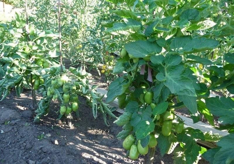Томат «челнок»: в чем секрет его популярности у дачников, описание плодов сорта и особенности ухода