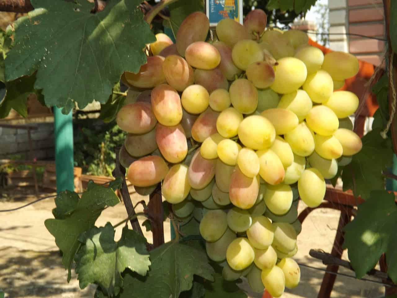Виноград аттика: описание сорта с фото и отзывами, нюансы ухода