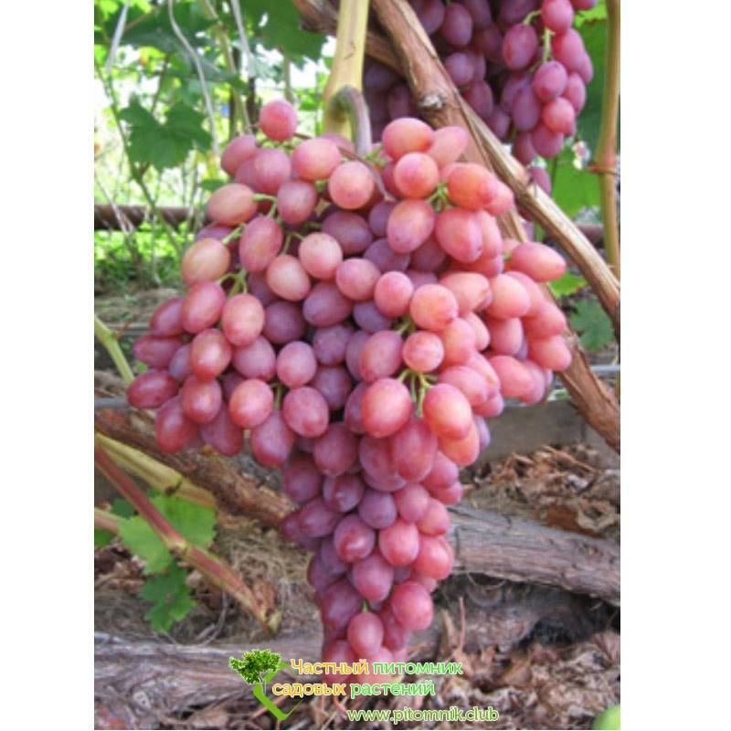 Описание винограда сорта кишмиш лучистый, особенности посадки и выращивания