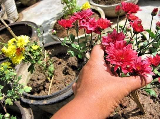 Подготовка хризантем к зиме: правила укрытия