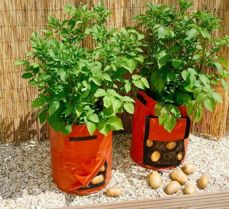 Китайский метод выращивания картофеля – особенности технологии