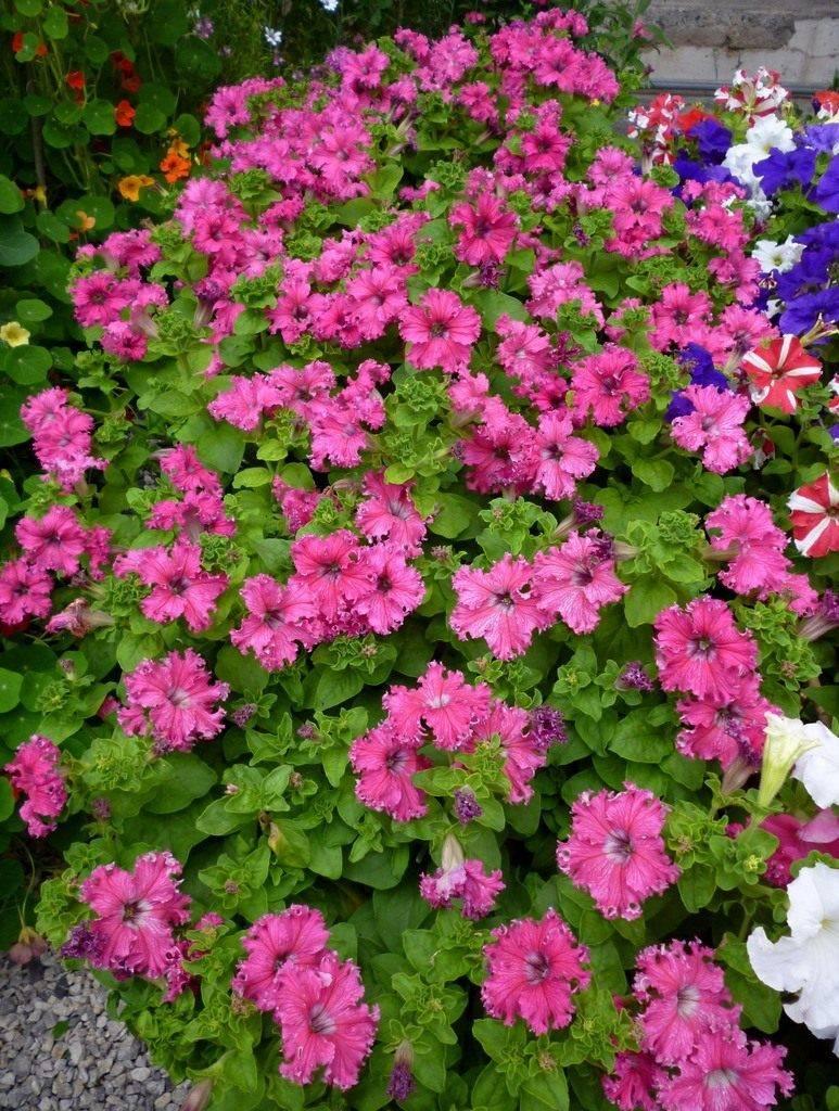 """Петуния """"фриллитуния"""": фото, описание, посадка цветов, уход"""