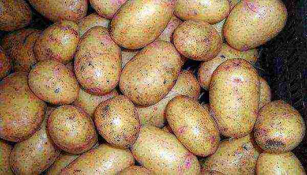 Описание сорта картофеля сказка, особенности выращивания и ухода