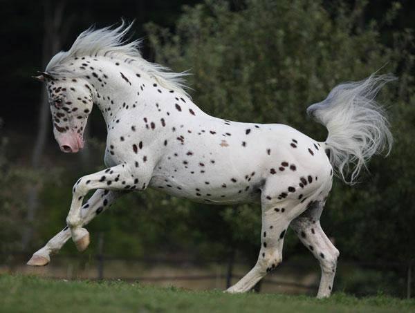 Лошадь породы аппалуза.описание и фото породы | мои лошадки
