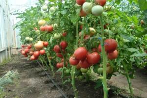Томат кибо f1: описание сорта, особенности выращивания, отзывы, фото