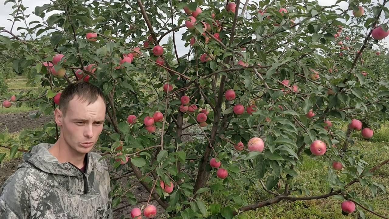 Яблоня солнцедар: секреты выращивания и урожайность