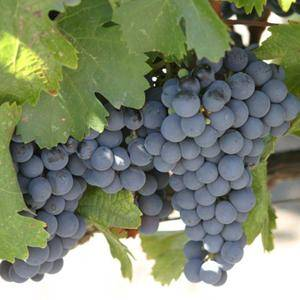 Виноград изюминка – настоящий южный сорт