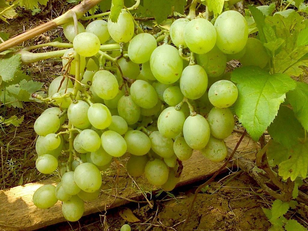 Виноград «подарок запорожью» описание сорта, выращивание и фото с отзывами