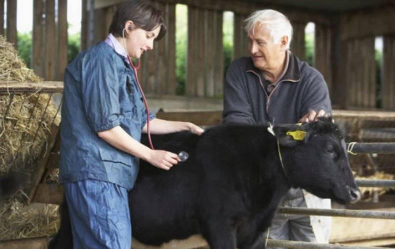 Температура тела у коровы: нормы, что делать если высокая — selok.info