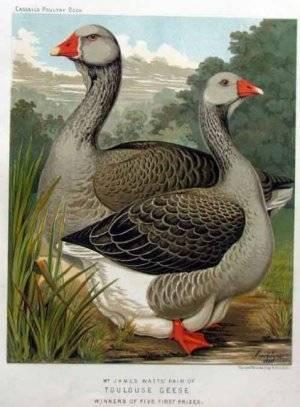 Описание породы тулузские гуси