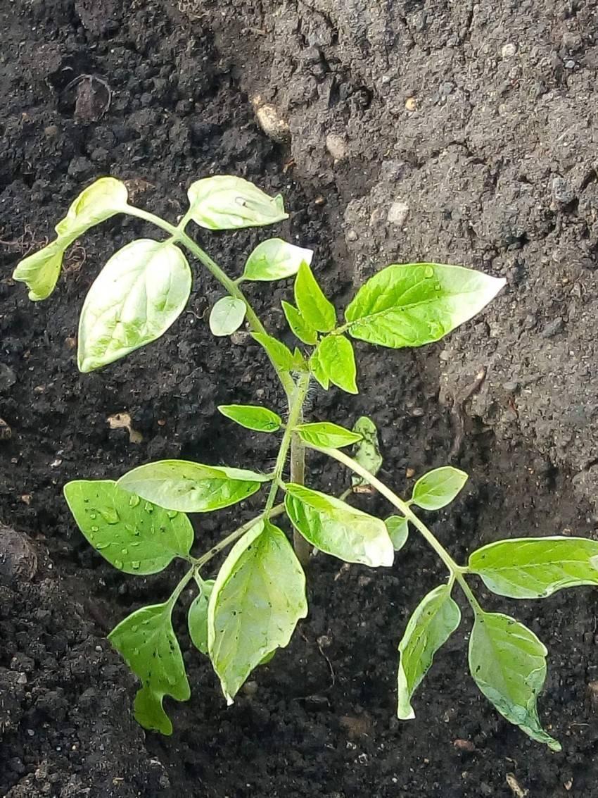 Почему сохнут и желтеют листья у помидоров в теплице: определяем причины