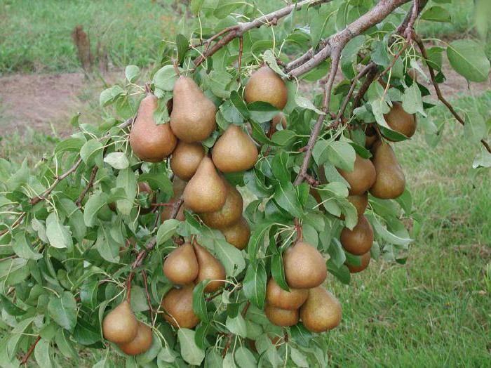 Сорт груши нарядная ефимова, описание, характеристика и отзывы, особенности выращивания