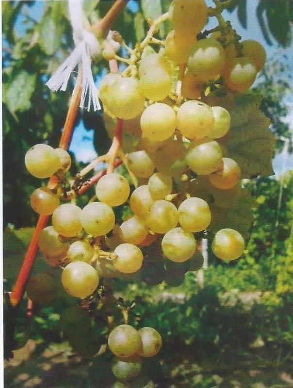 Виноград кишмиш черный потапенко