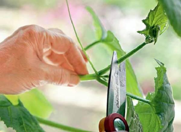 Как пасынковать огурцы в открытом грунте