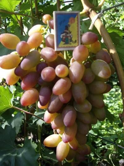 Виноград тимур: характеристика и описание, посадка и уход