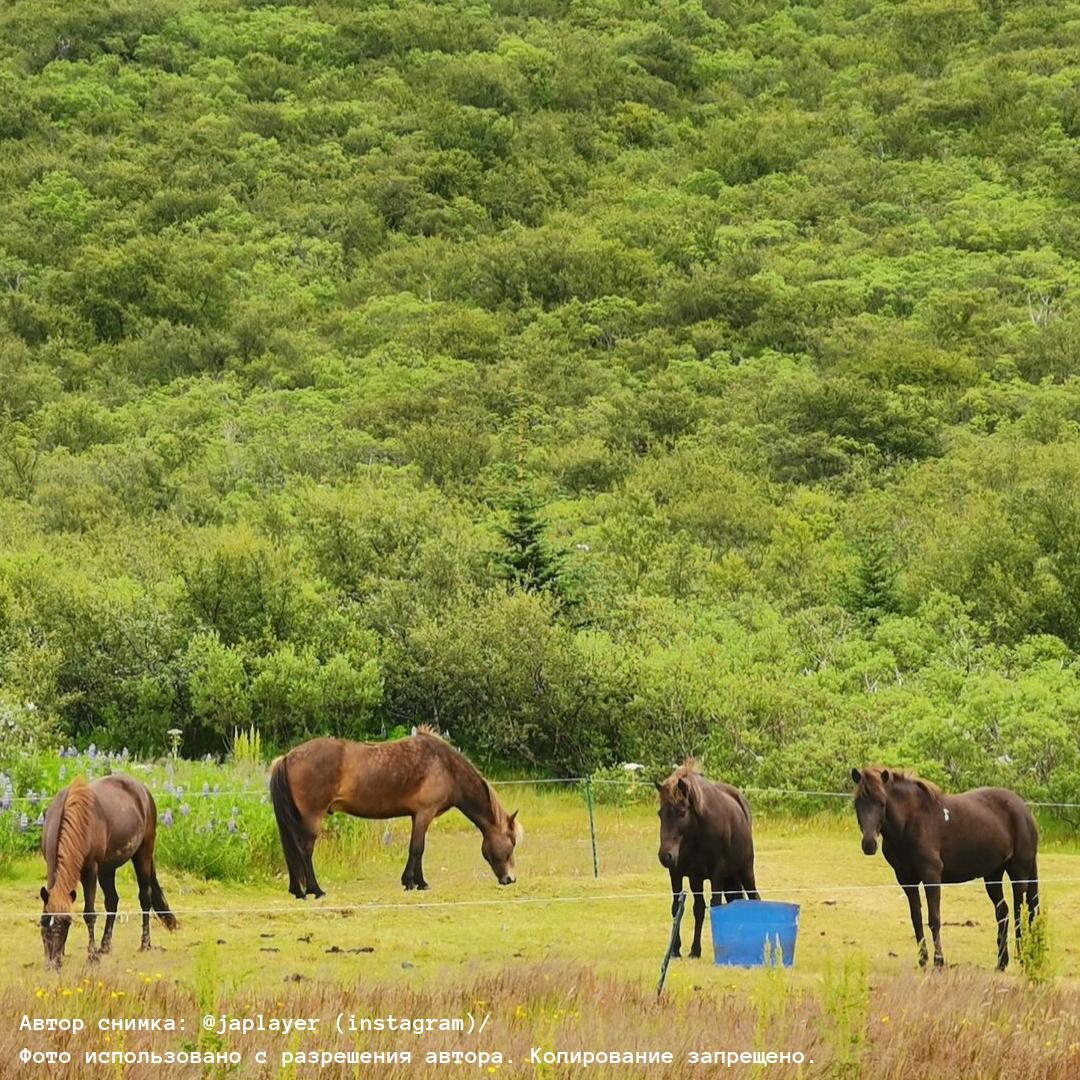 Исландский пони: описание породы и фото