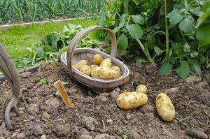 9 способов посадки картофеля весной для хорошего урожая осенью