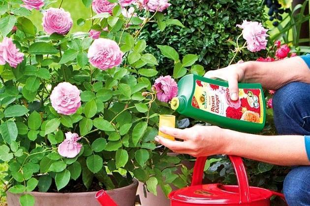 Уход за розами весной: обрезка, подкормка, опрыскивание и полив