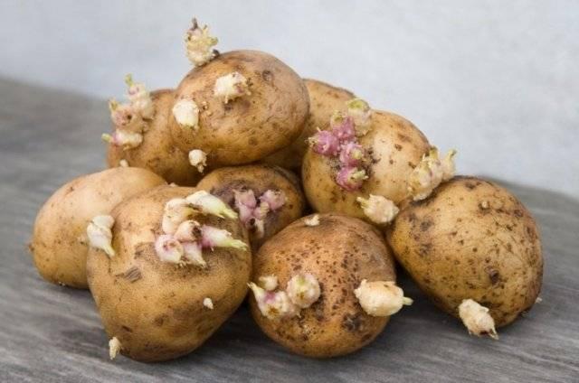 Картофель джелли: описание сорта и характеристики