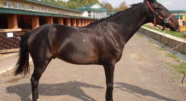 Кабардинская порода лошадей: характеристика, уход и кормление