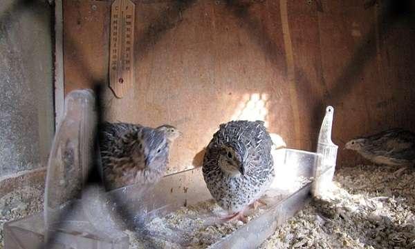 Брудер для цыплят своими руками: чертежи, размеры брудера для перепелов, бройлеров, утят