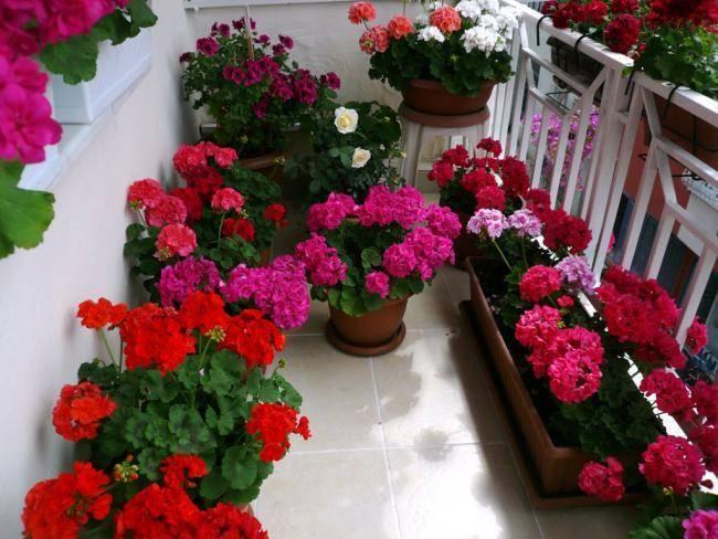 Размножение герани черенками в домашних условиях: пошаговая инструкция с фото - sadovnikam.ru