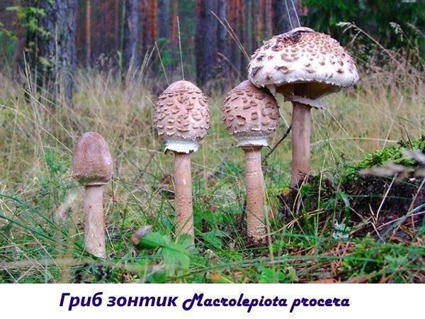 Грибы курятники фото и описание. описание гриба зонтика краснеющего и особенности применения