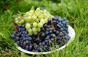 Особенности технологии выращивания винограда в условиях сибири для начинающих