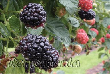 Характеристика и агротехника ежевики сорта натчез