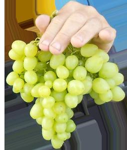 Виноград аркадия: правила выращивания, обзор сорта, преимущества и характеристики аркадии (105 фото)